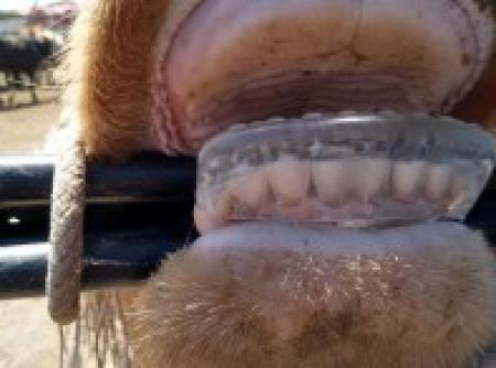 Notable Suceso de las Pr�tesis Dentales para Bovinos en M�xico