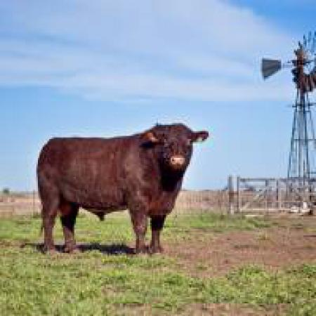 Argentina abre el mercado de semen, embriones y reproductores bovinos a Marruecos